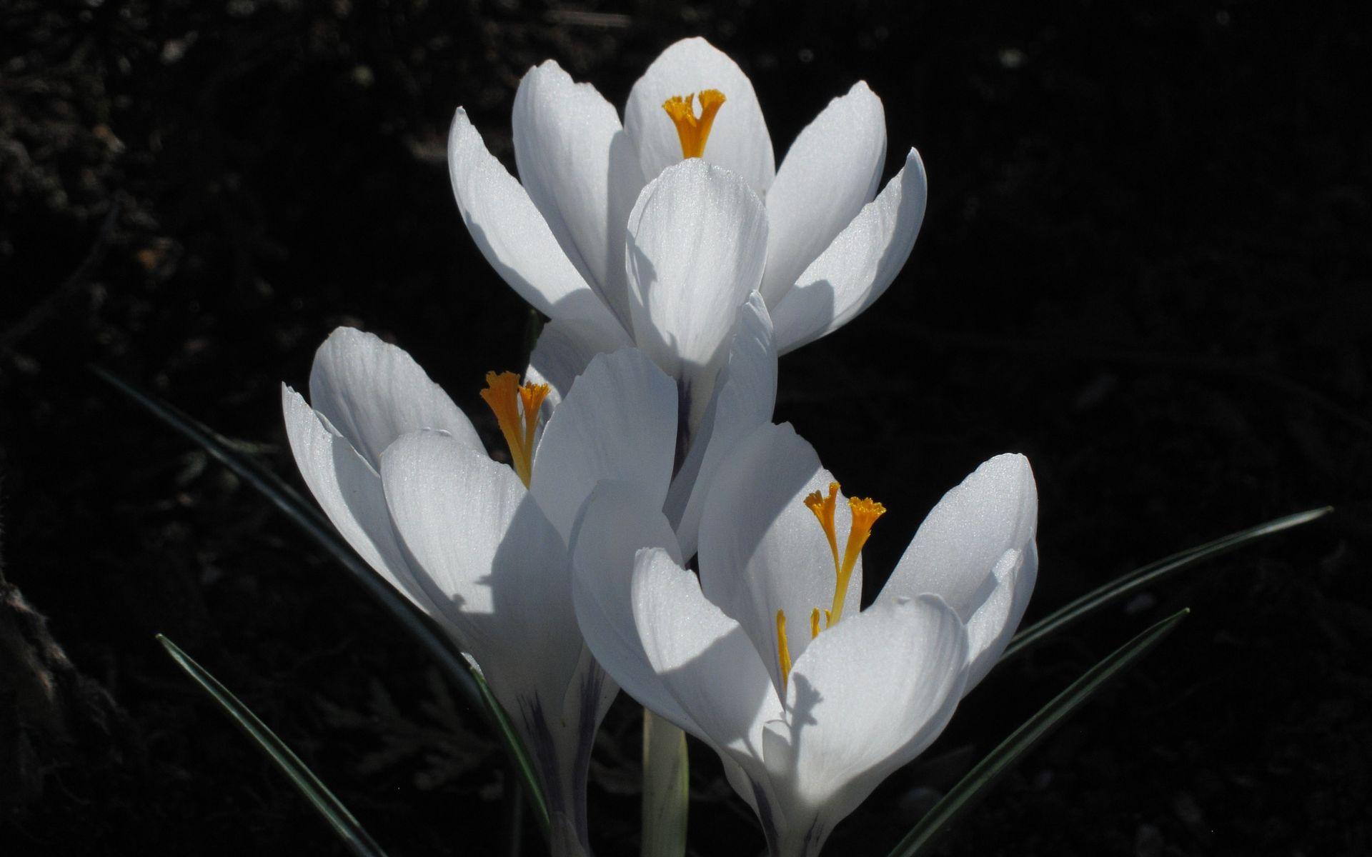 Krokusse im Blumengarten des Großen Garten