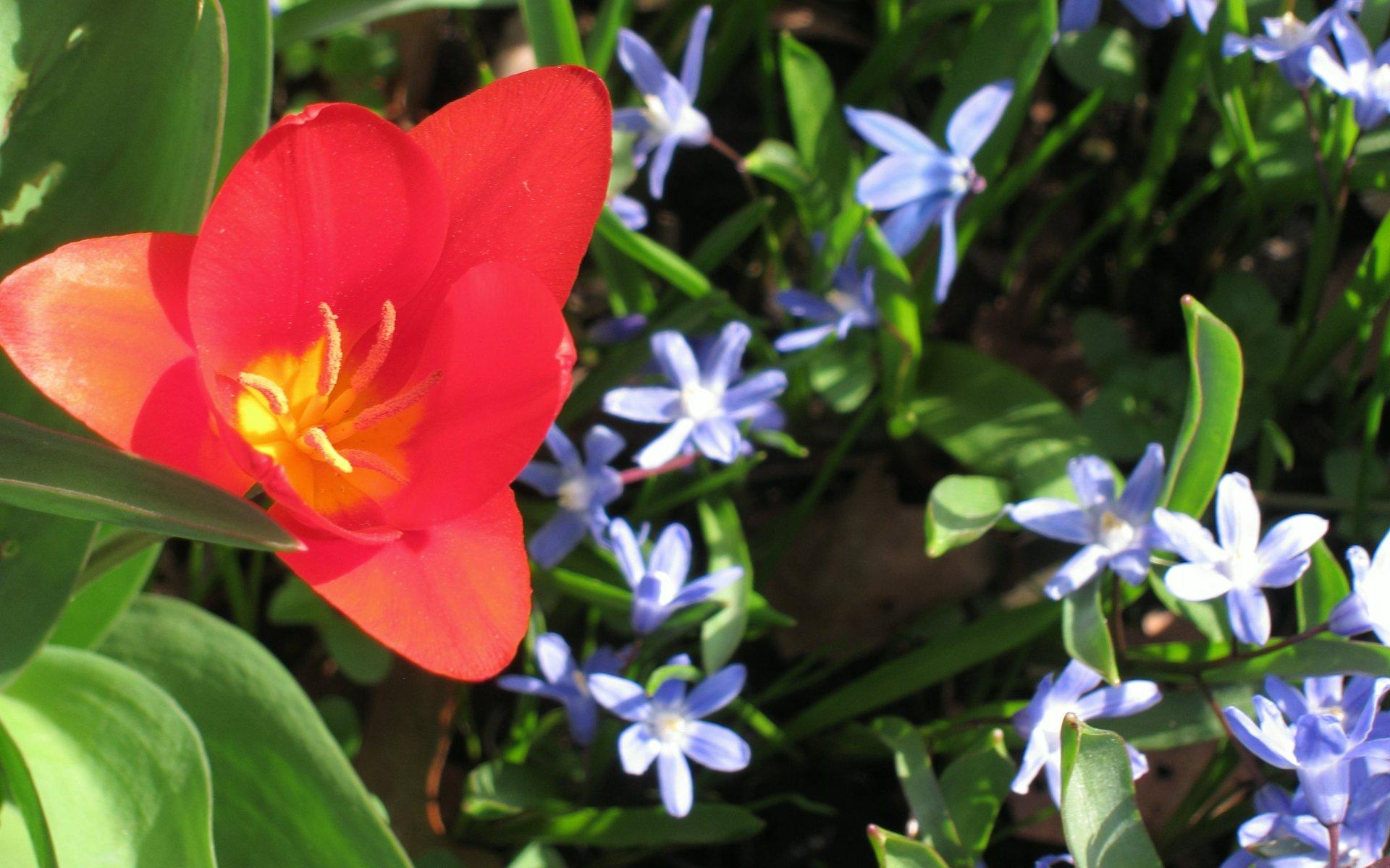 Rote Tulpe for Blausternen (Scilla) bei den Schmuckstauden im Berggarten