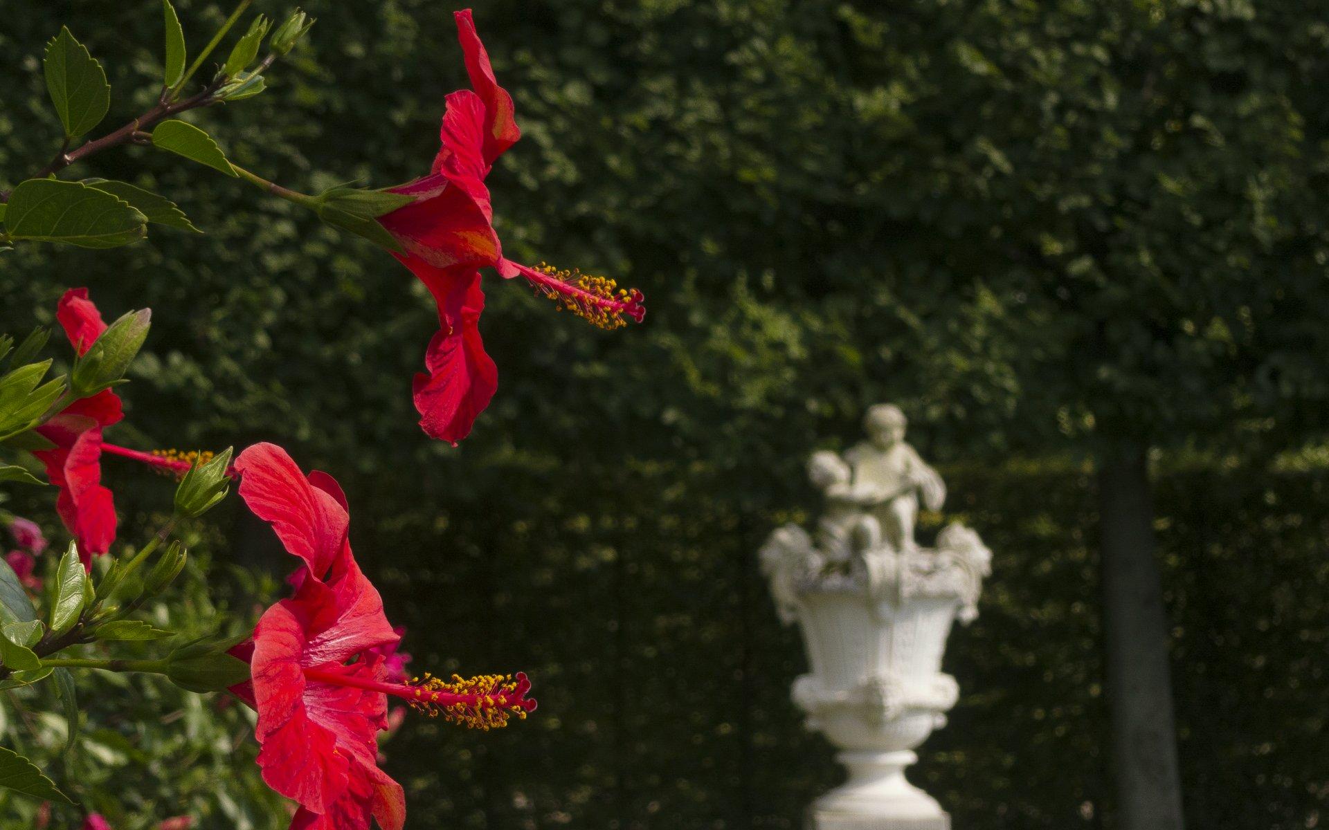 Hibiskus im Königsbusch im Großen Garten