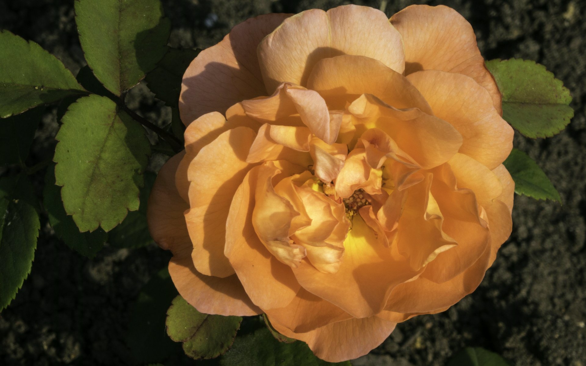 Rose im Rosengarten im Stadtpark