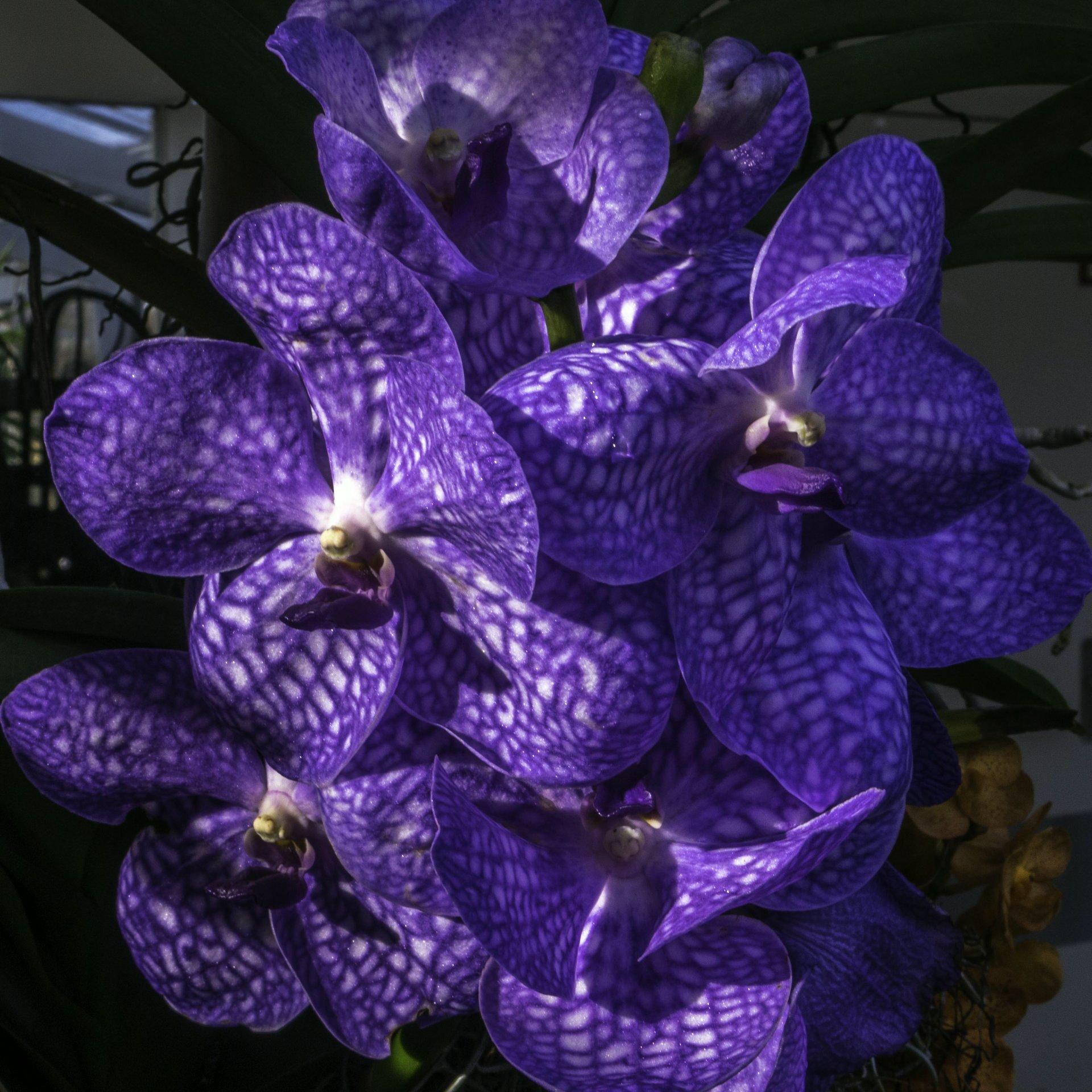 Orchideen im Tropenschauhaus im Berggarten