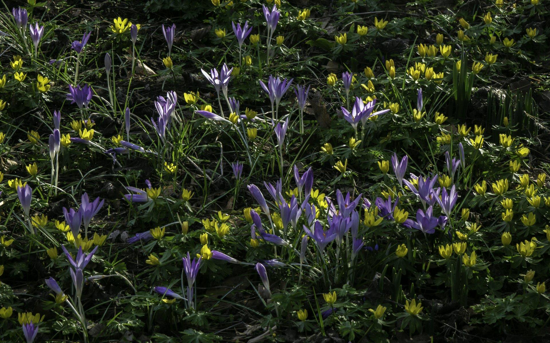 Krokusse und Winterlinge bei den Frühjahrsblumen im Stadtpark