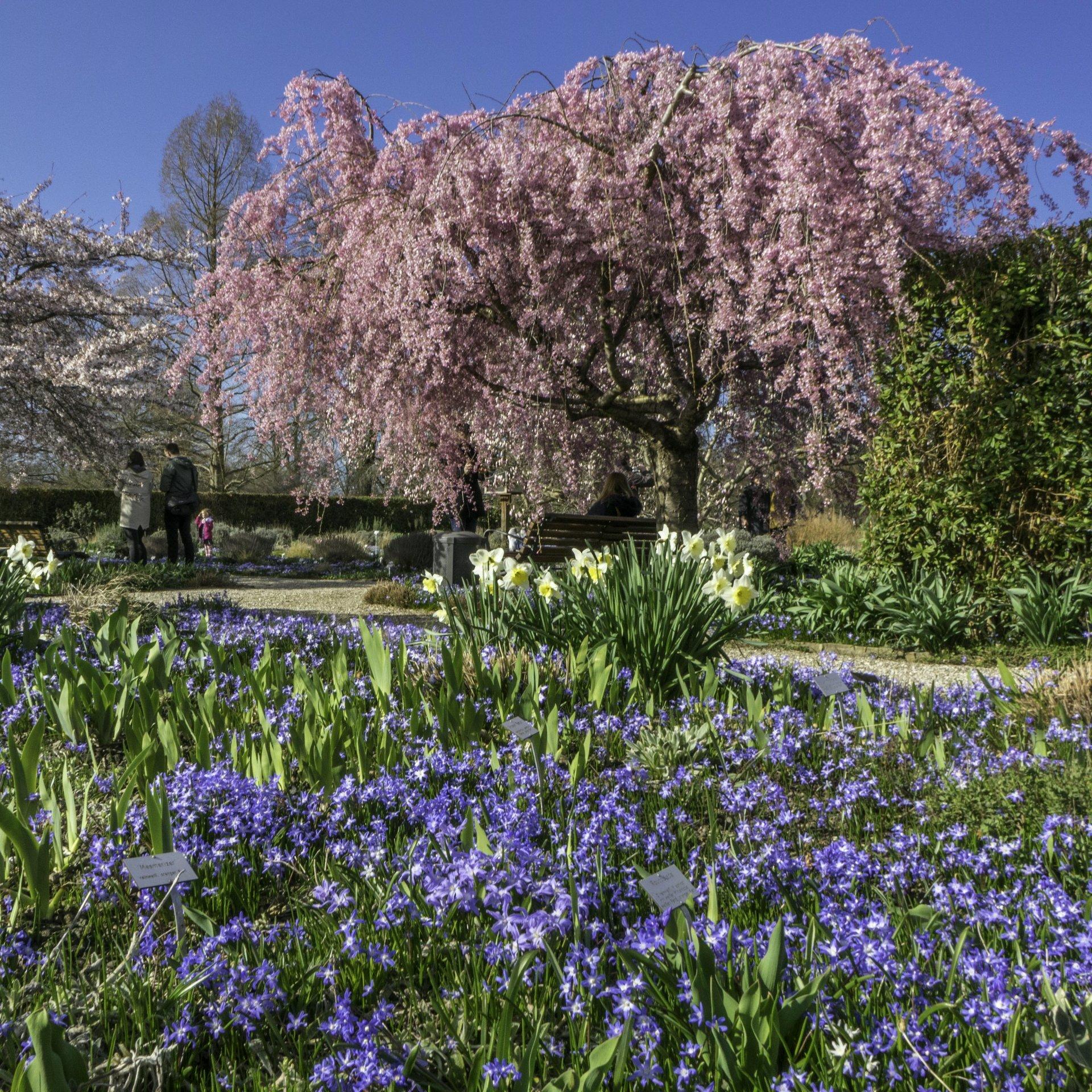 Japanische Zierkirsche, Osterglocken und Scilla im Irisgarten im Berggarten