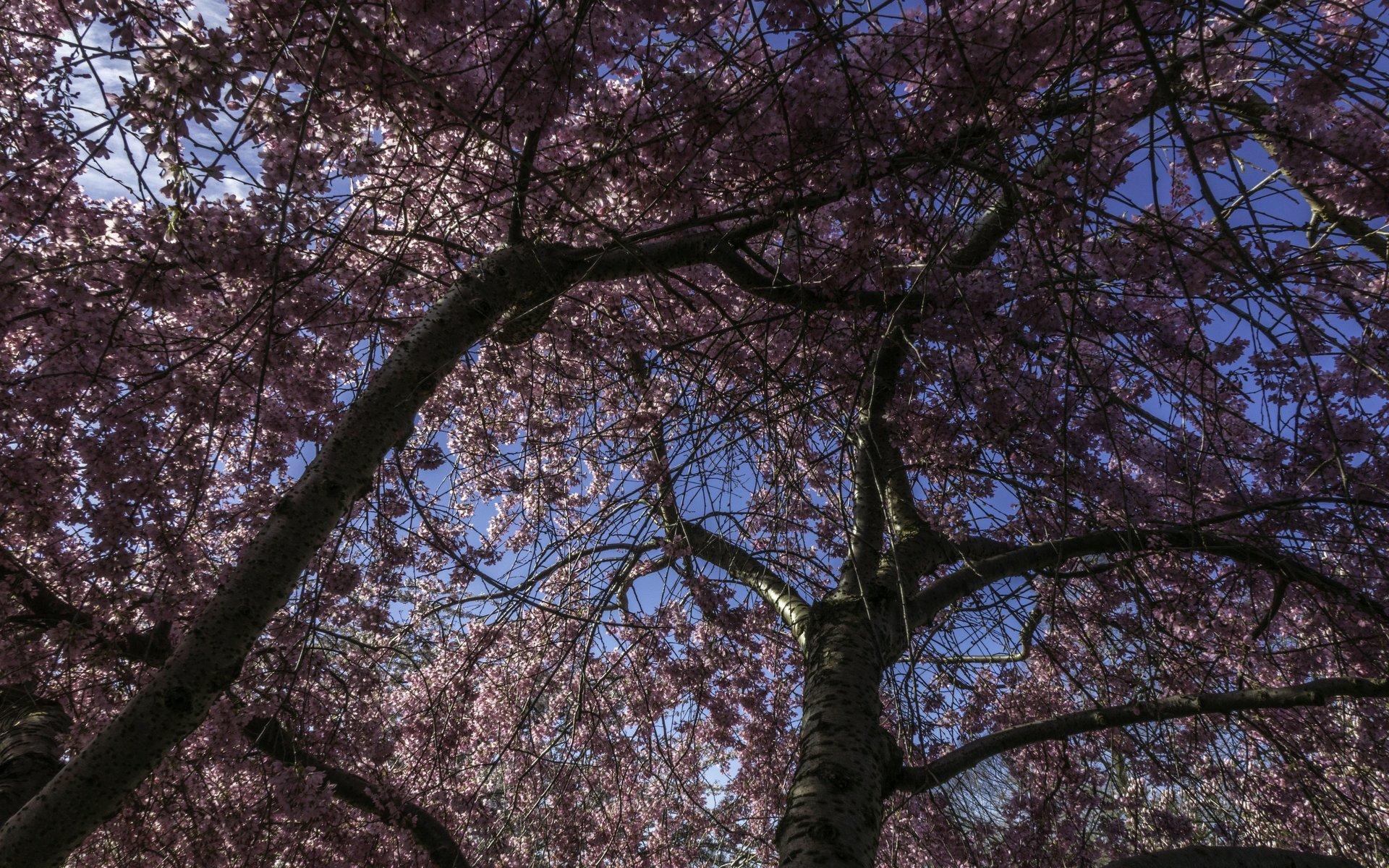 Japanische Zierkirsche im Irisgarten im Berggarten