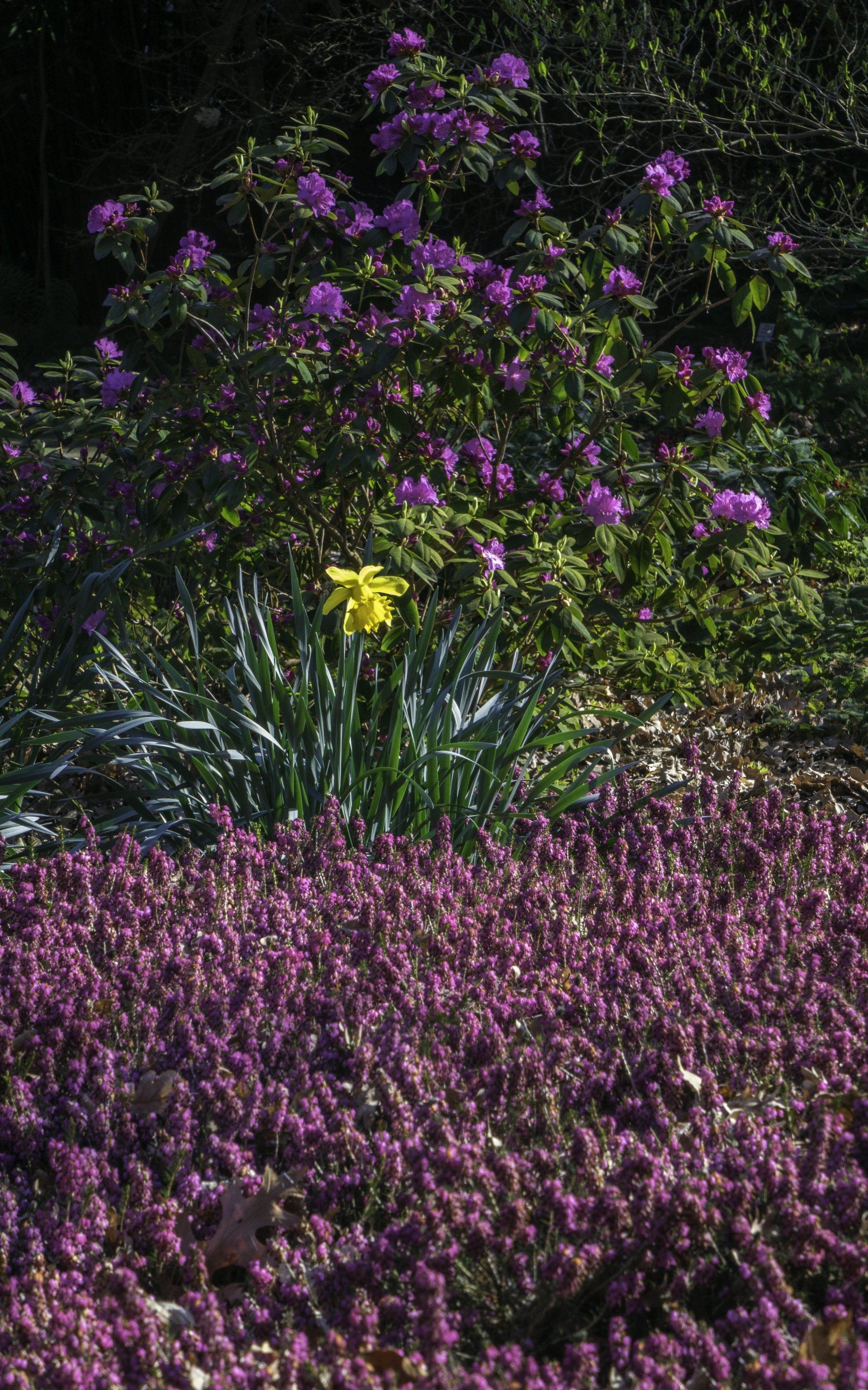 Rhododendron, Osterglocke und Winterheide im Rhododendrenhain im Berggarten