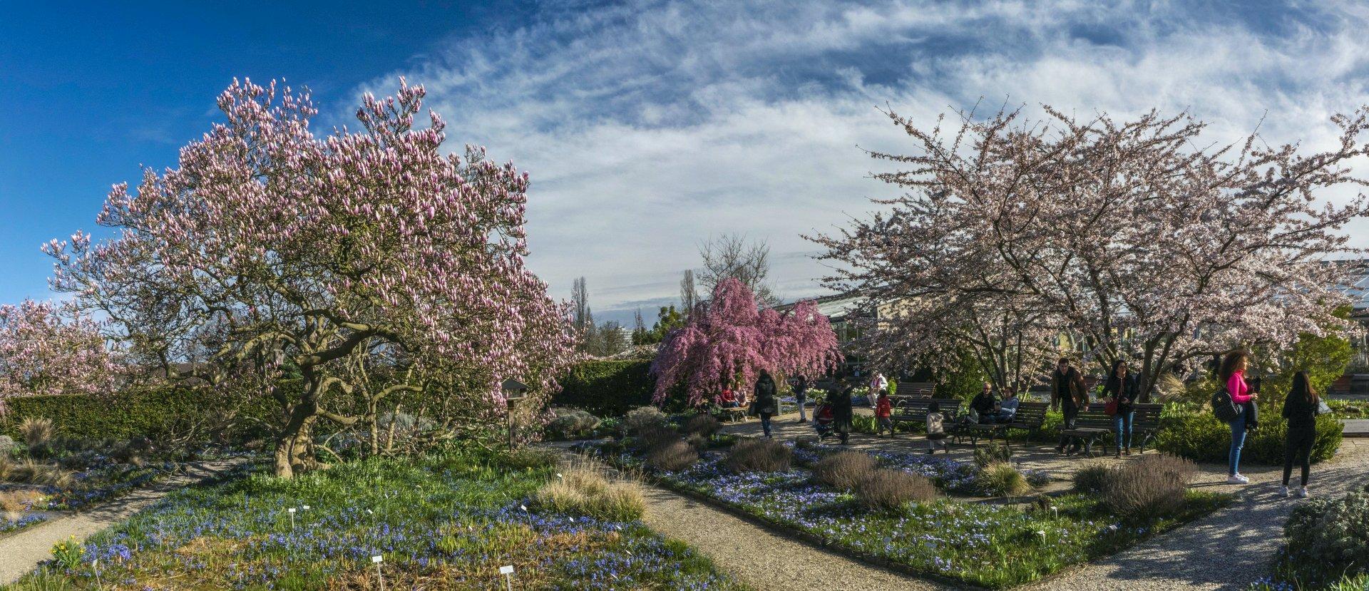 Magnolie und japanische Zierkirschen im Irisgarten des Berggartens
