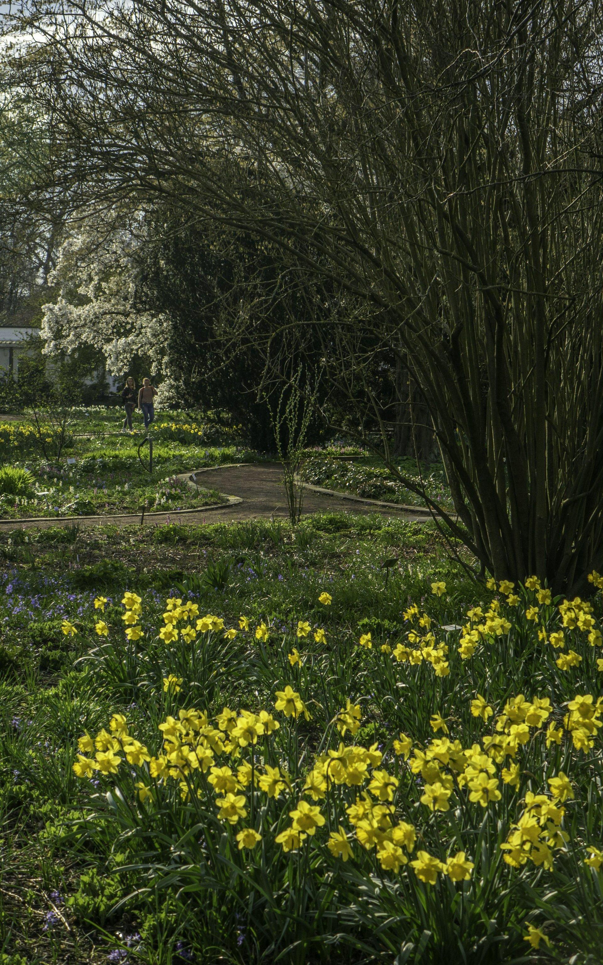 Osterglocken bei den Frühjahrsblumen im Stadtpark