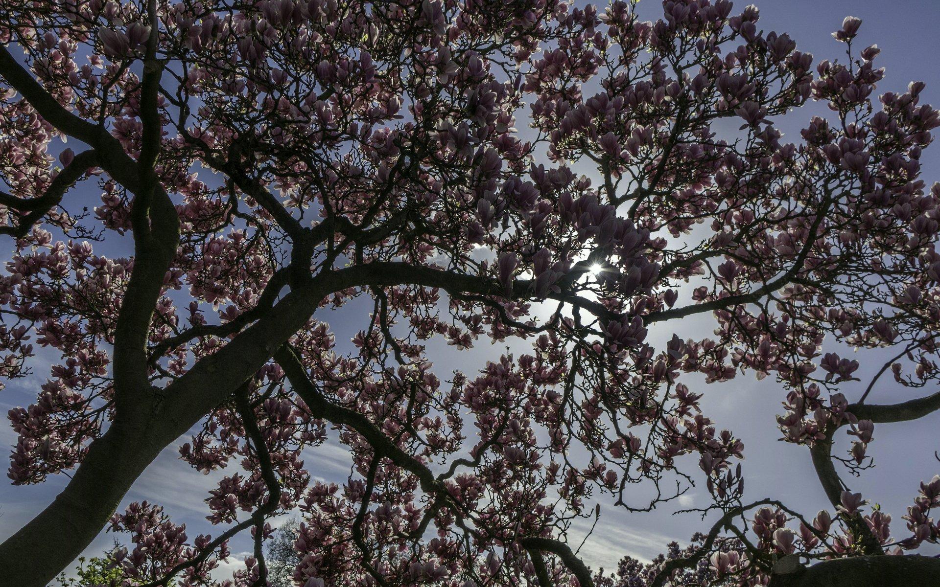 Magnolie am Blumengang des Berggartens