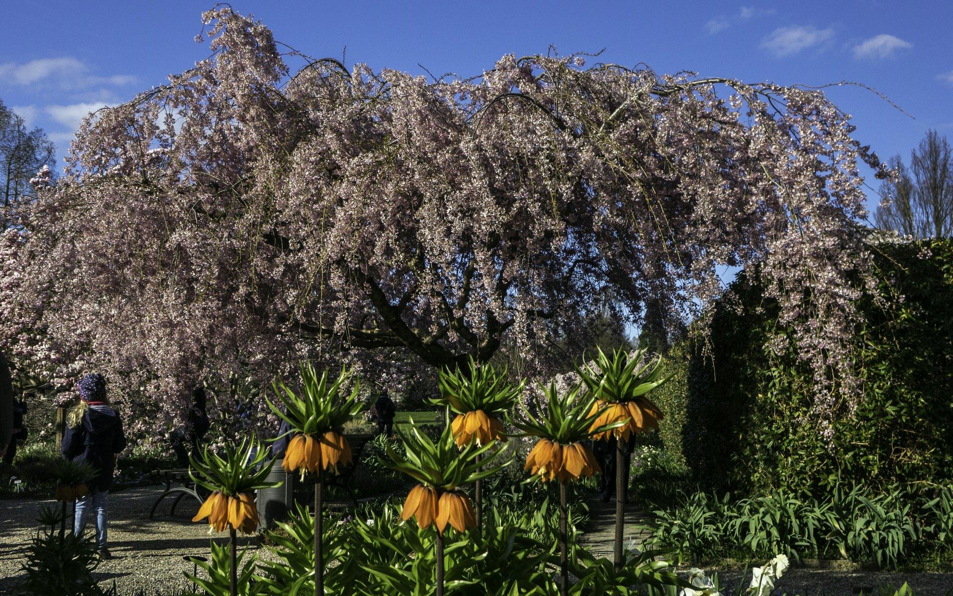 Kaiserkrone und japanische Zierkirsche im Irisgarten des Berggartens