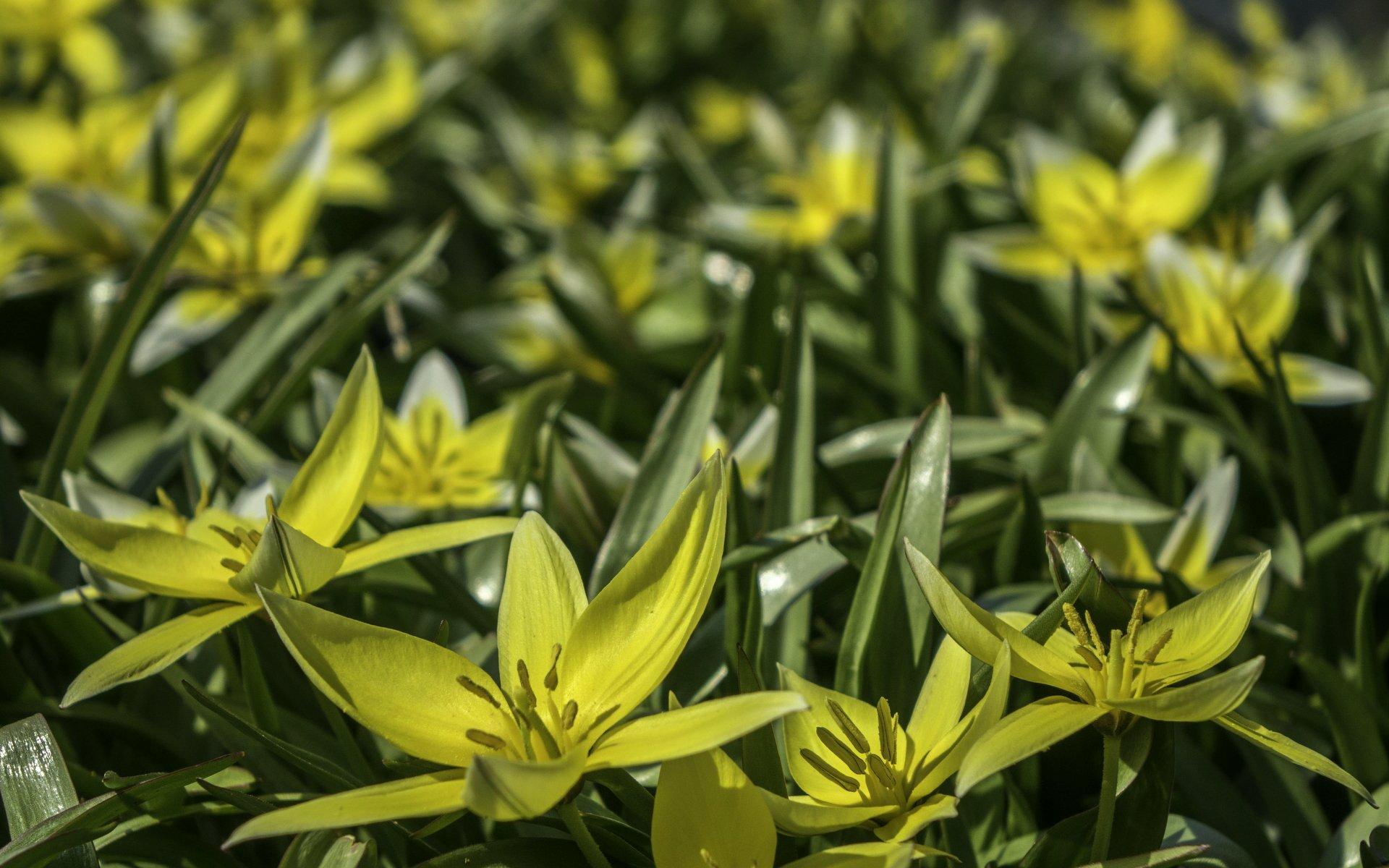 Wilde Tulpen im Wüstengarten des Berggartens
