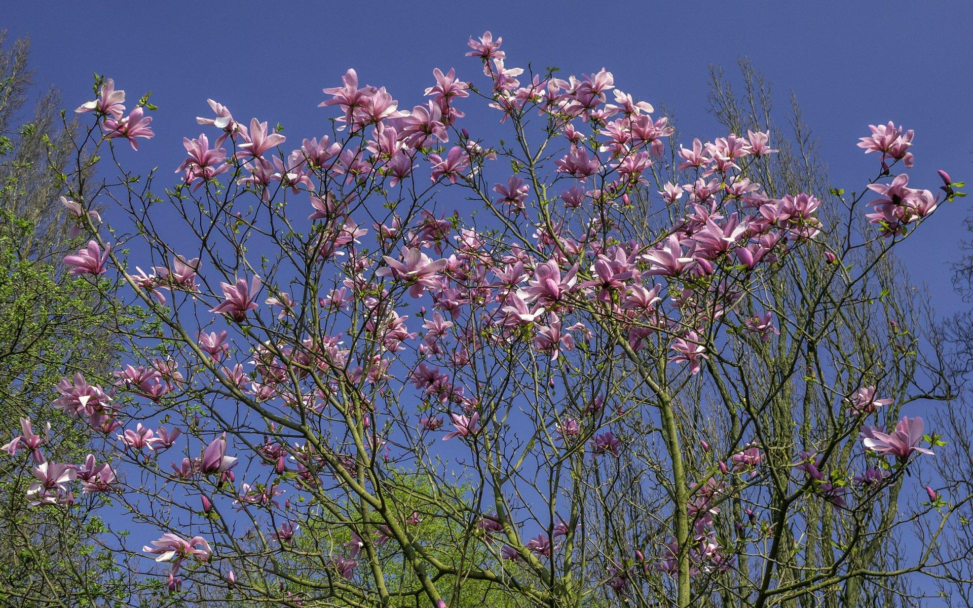 Magnolie im Rhododendrenhain des Berggartens