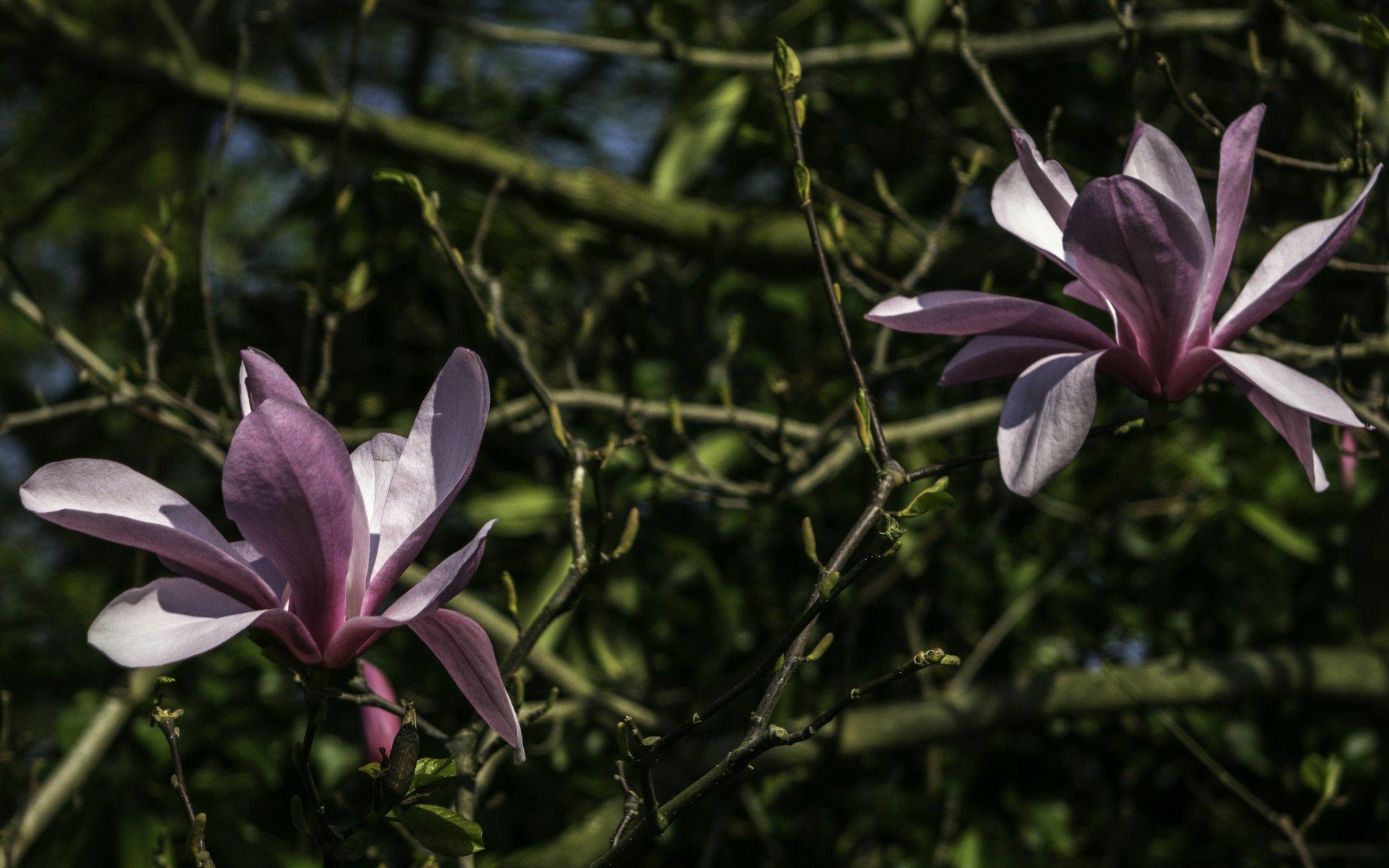 Magnolienblüten im Rhododendrenhain des Berggartens