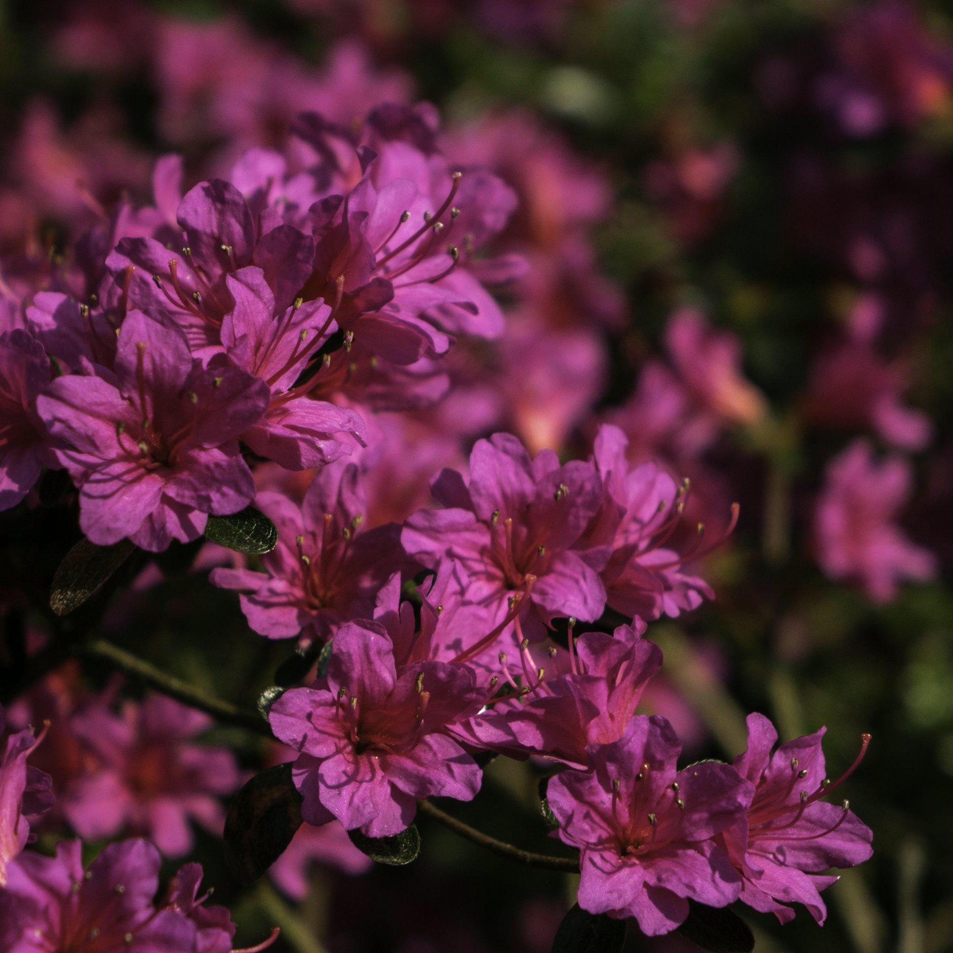 Rhododendron am Moorweiher im Berggarten