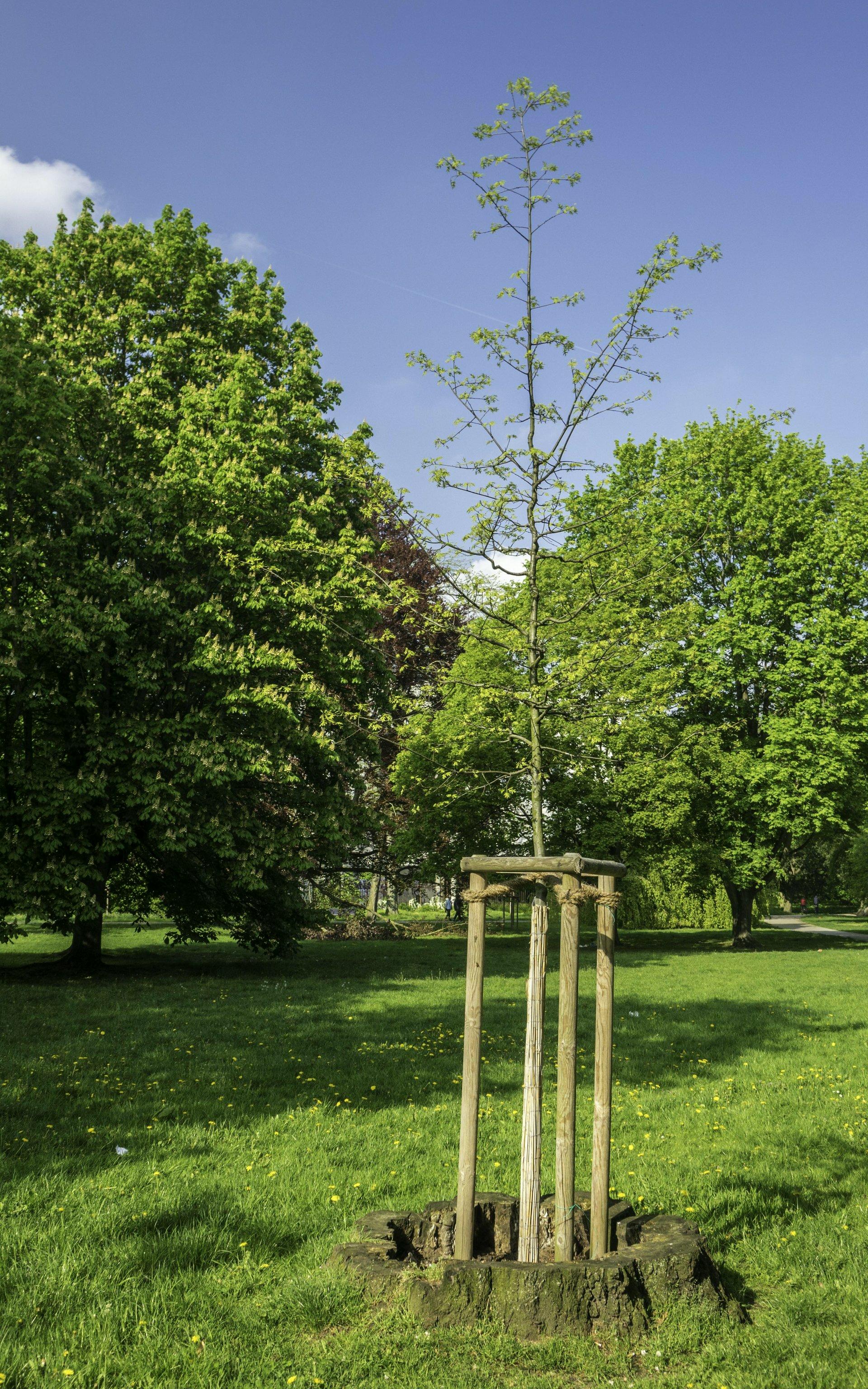 Baum im Welfengarten