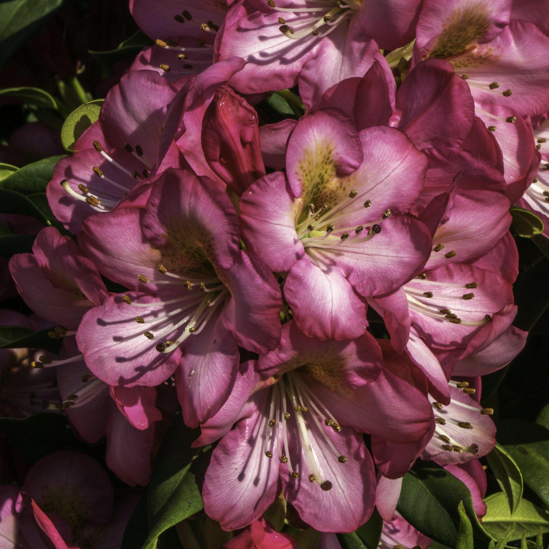Rhododendron im Rhododendrenhain im Berggarten
