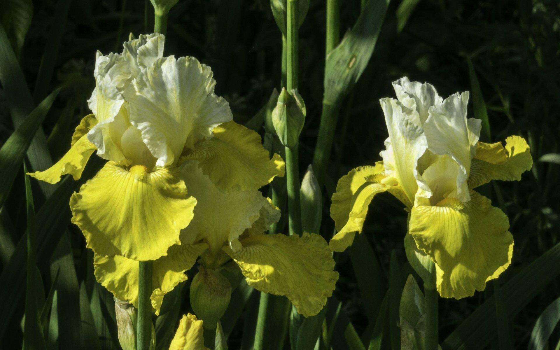 Iris im Irisgarten des Berggartens