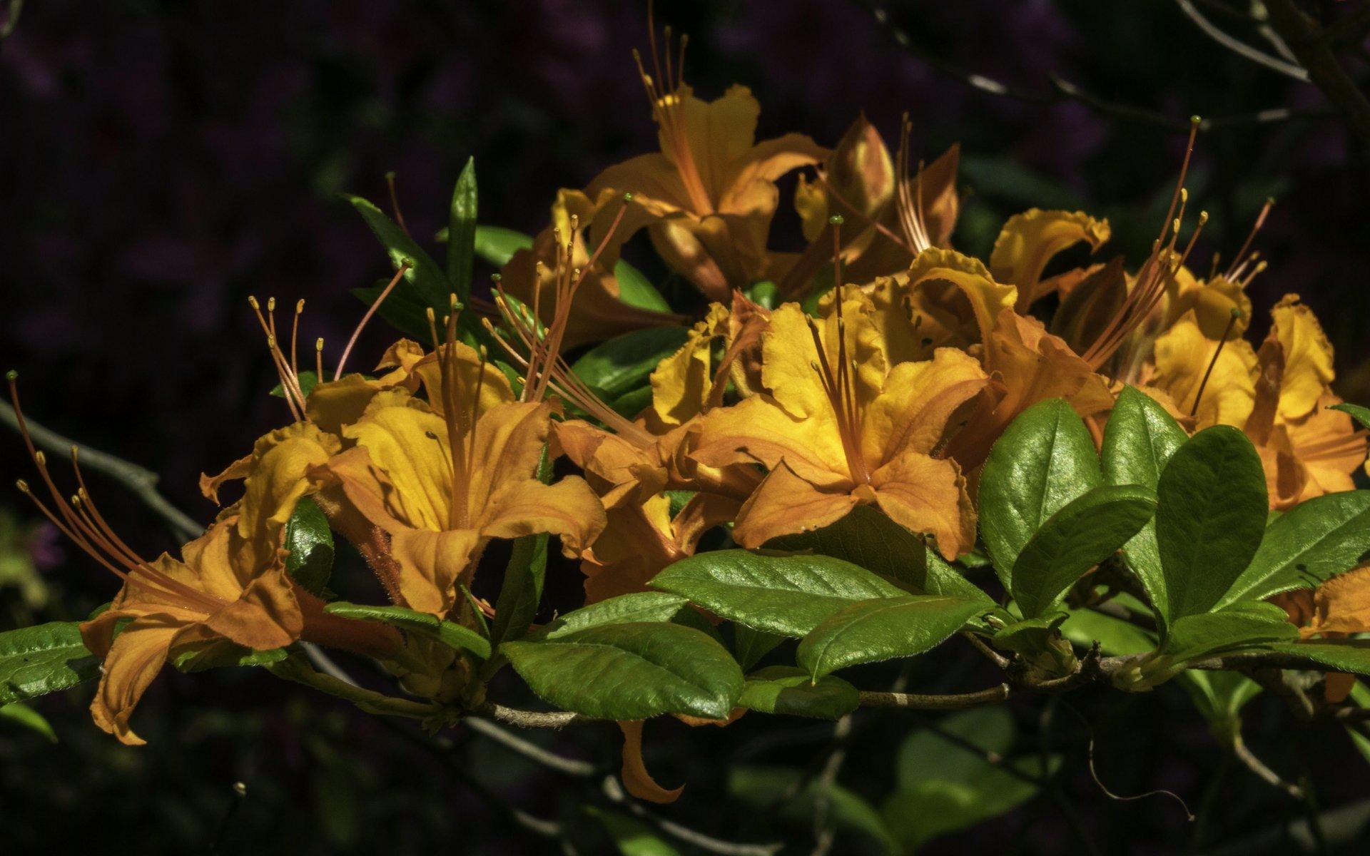 Rhododendron bei der Schachecke im Stadtpark