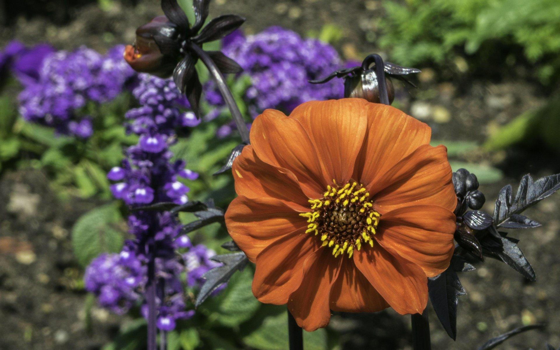 Dahlie im Niederdeutschem Blumengarten im Großen Garten