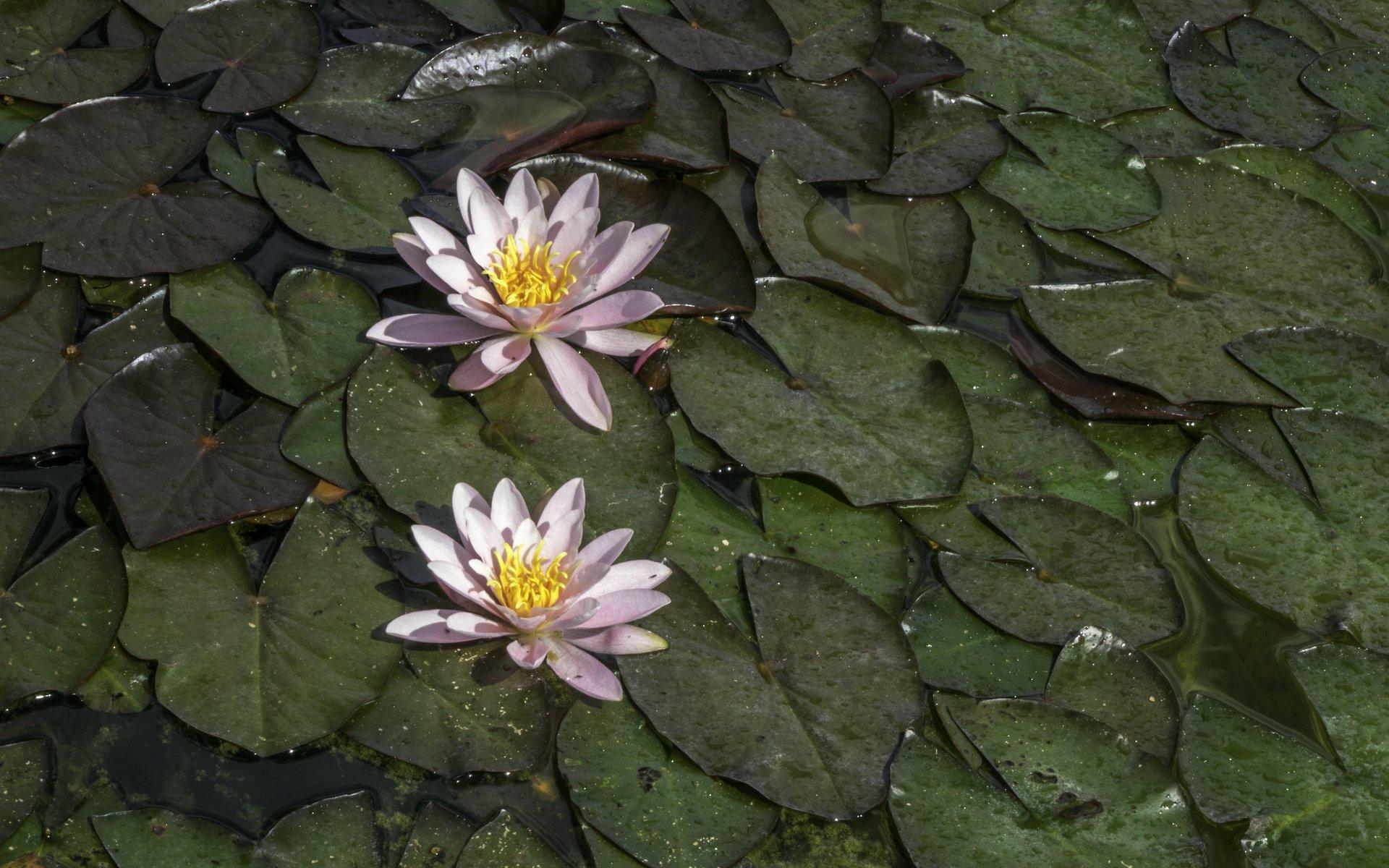 Seerosen im Inselgarten des Großen Gartens