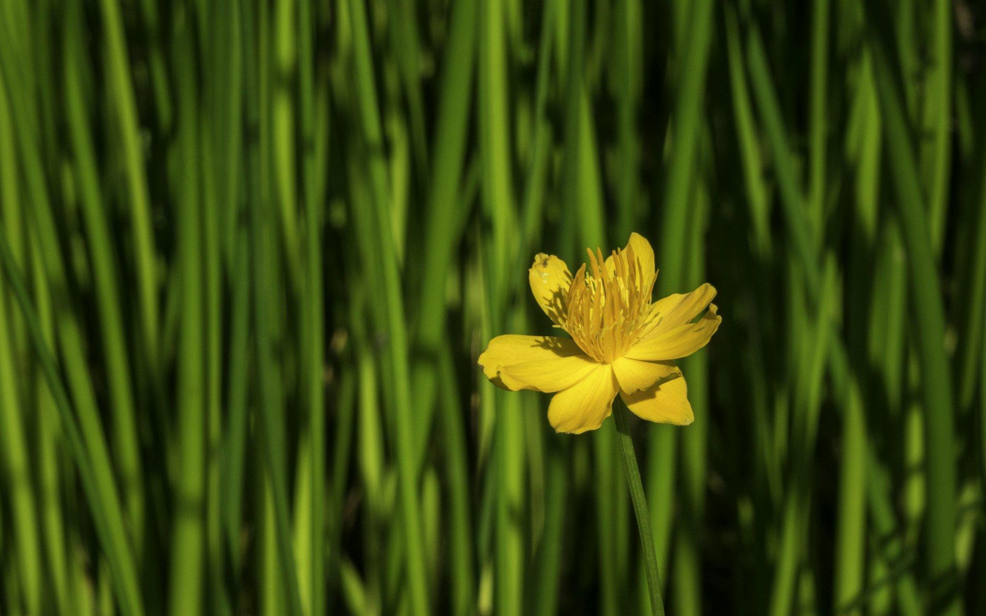 Trollblume im Steingarten des Berggartens