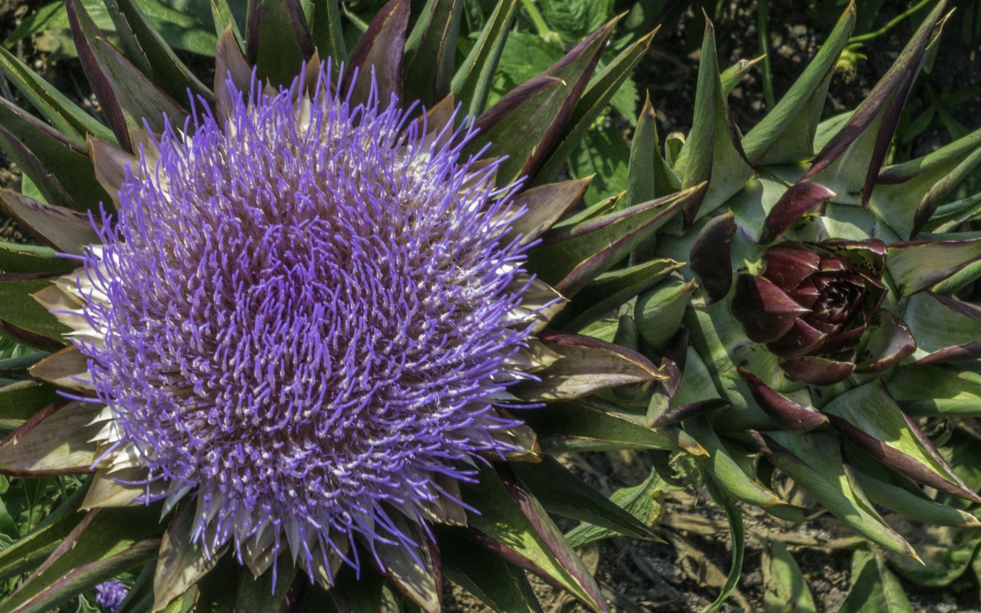 Diestel im Niederdeutschen Blumengarten im Großen Garten