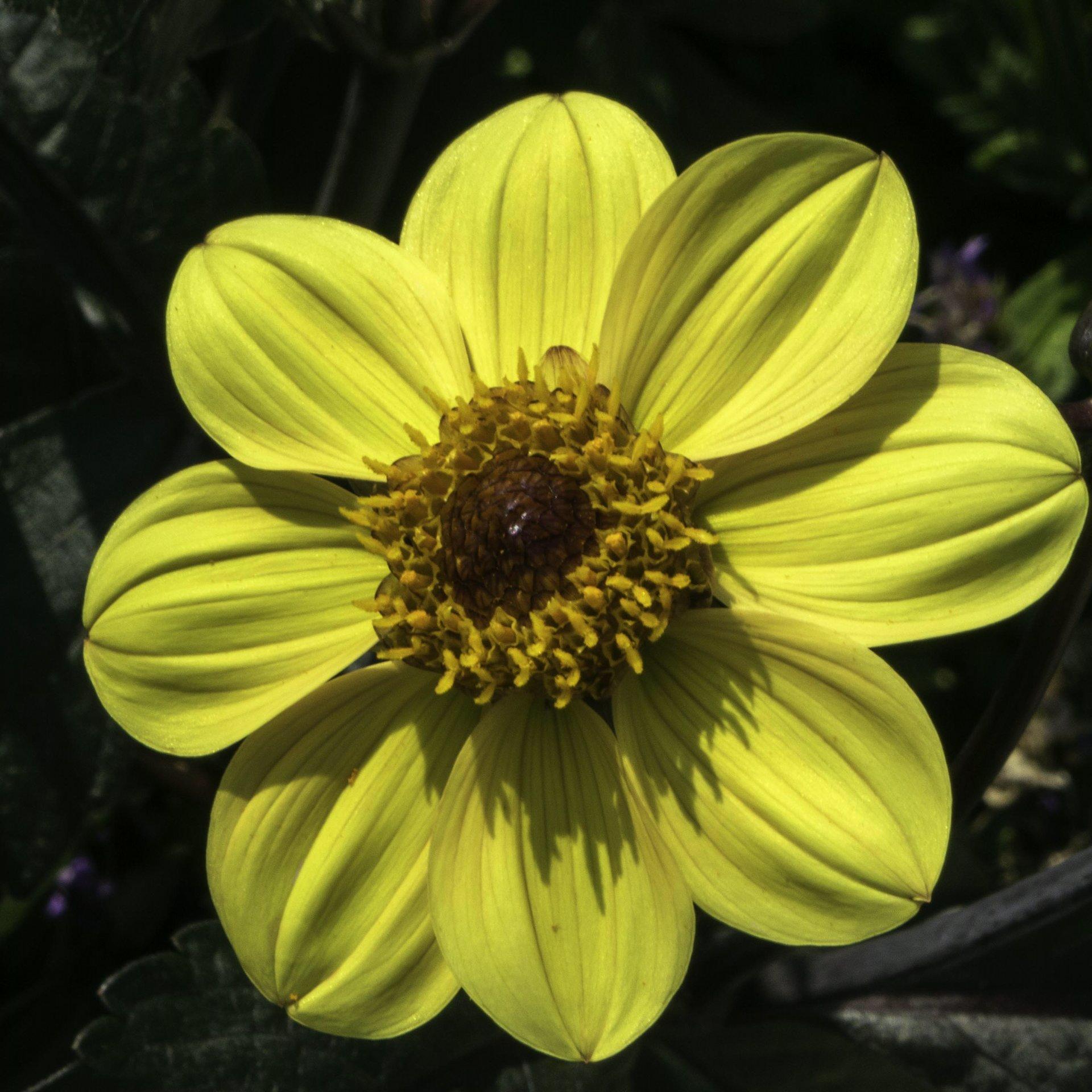 Dahlie im Niederdeutschen Blumengarten im Großen Garten