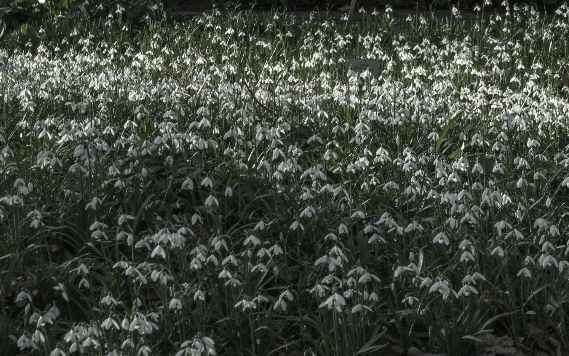 Schneeglöckchen im Staudengrund des Berggartens