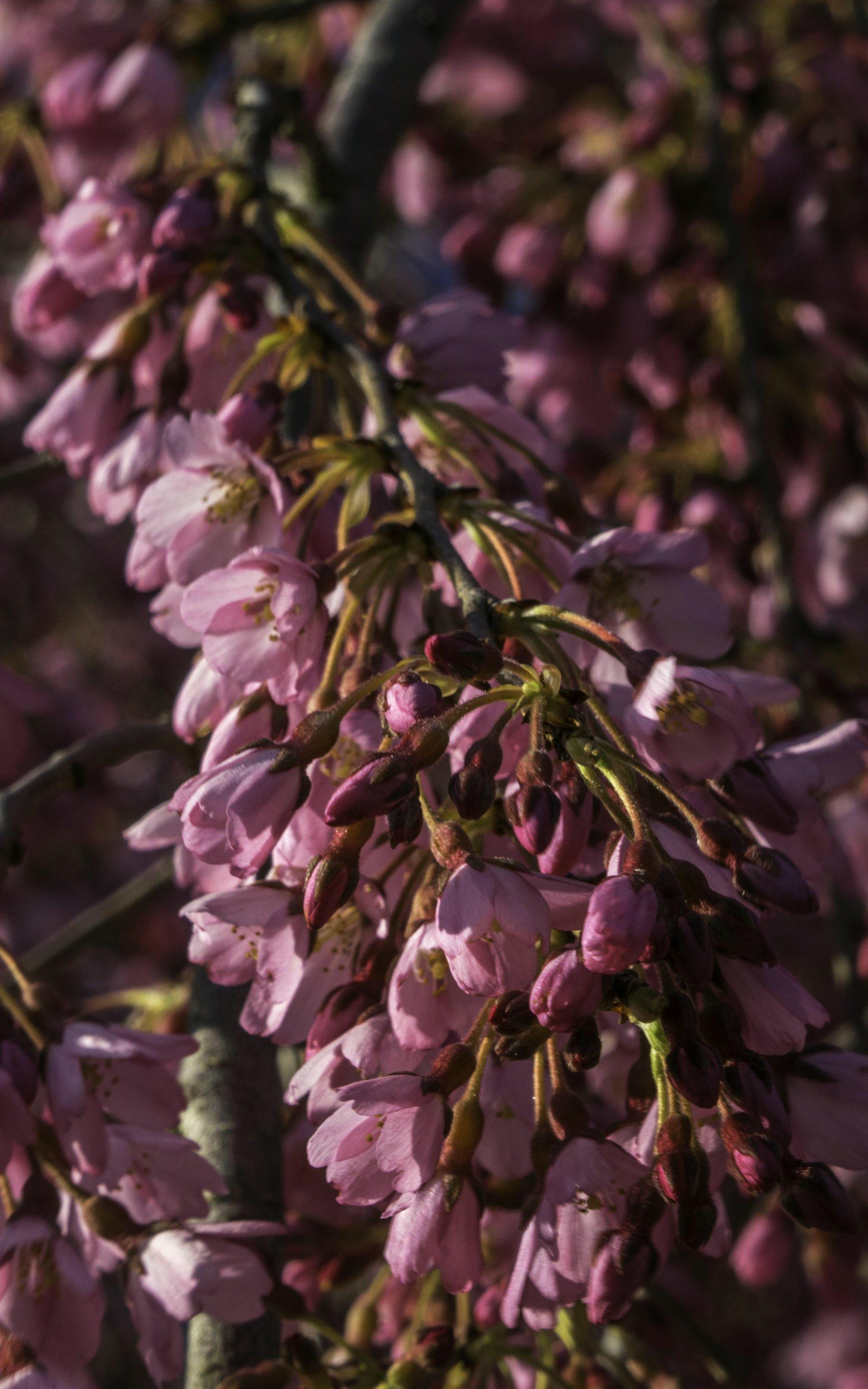 Japanische Zierkirsche im Irisgarten des Berggartens