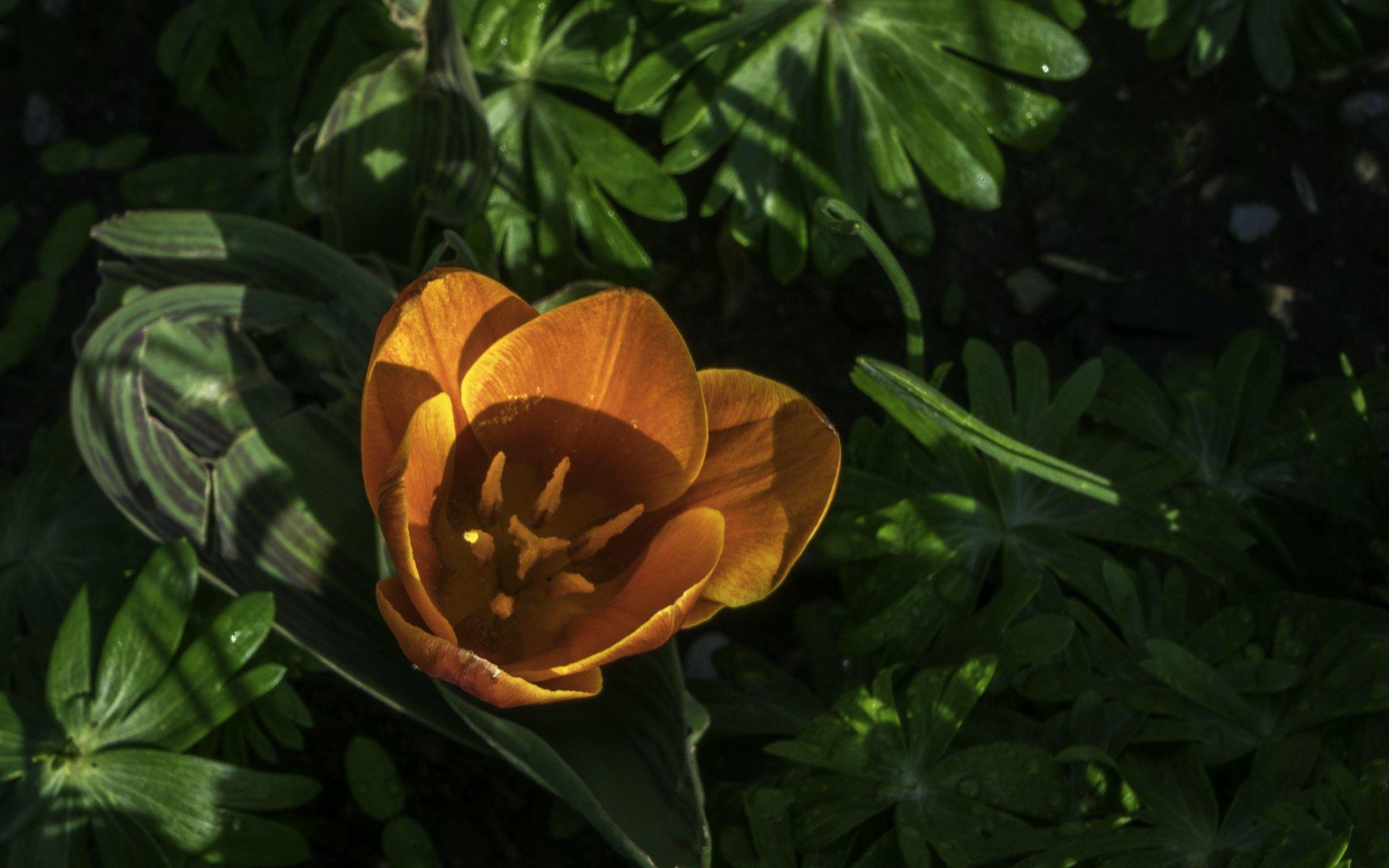 Tulpe bei den Schmuckstauden im Berggarten
