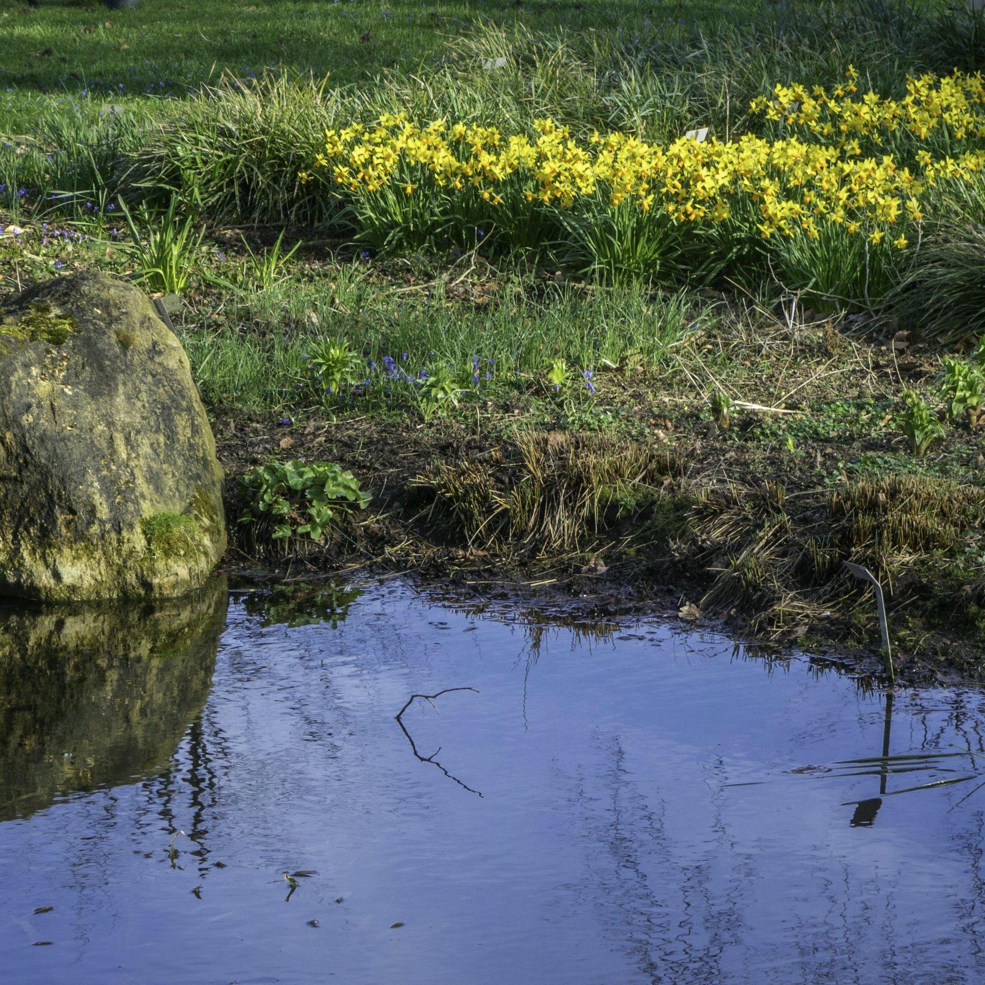 Osterglocken im Staudengrund des Berggartens