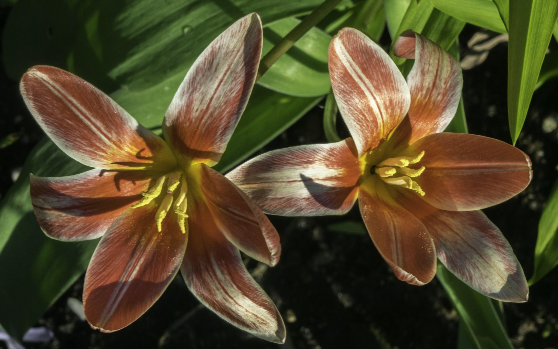 Tulpen neben dem Irisgarten des Berggartens