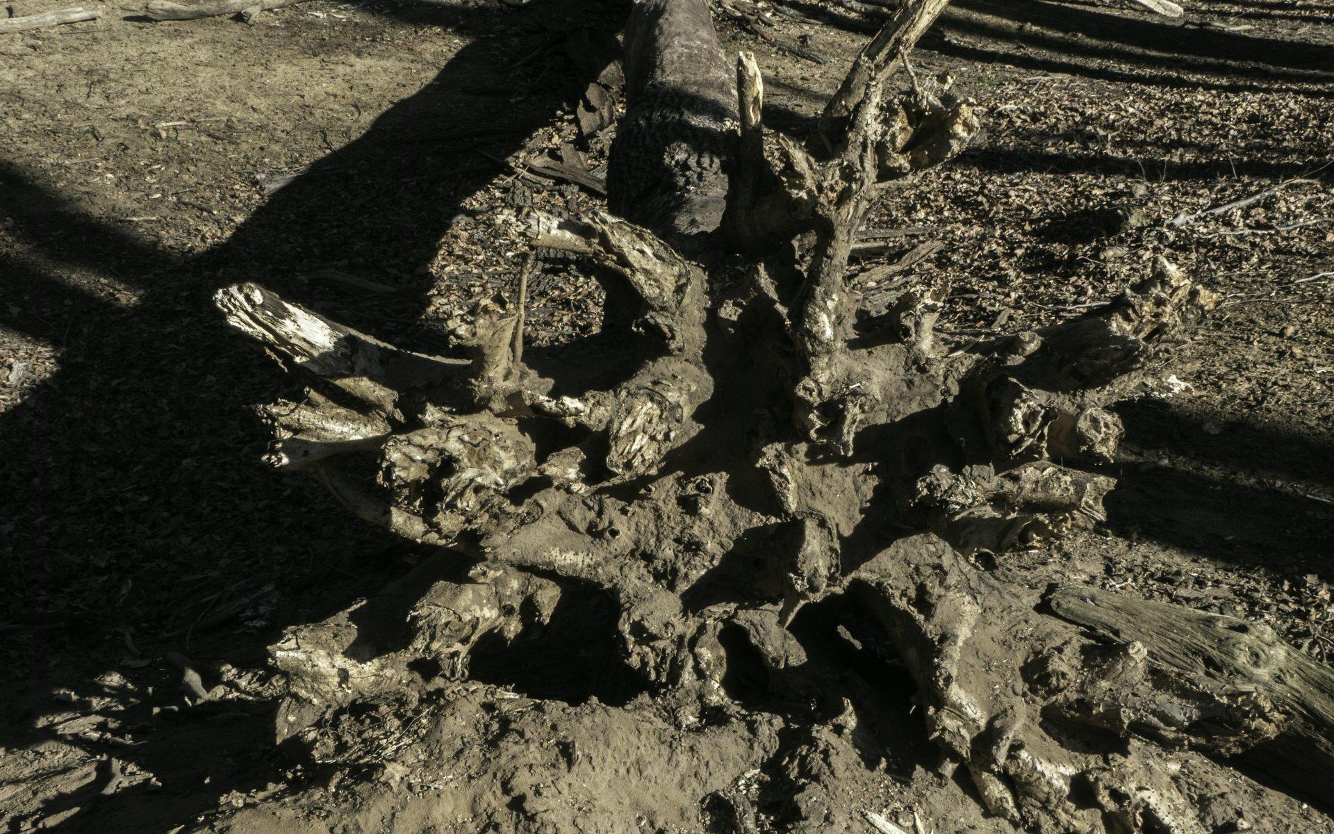 Wurzelballen eines umgefallenen Baums am Inselgraben in der Eilenriede
