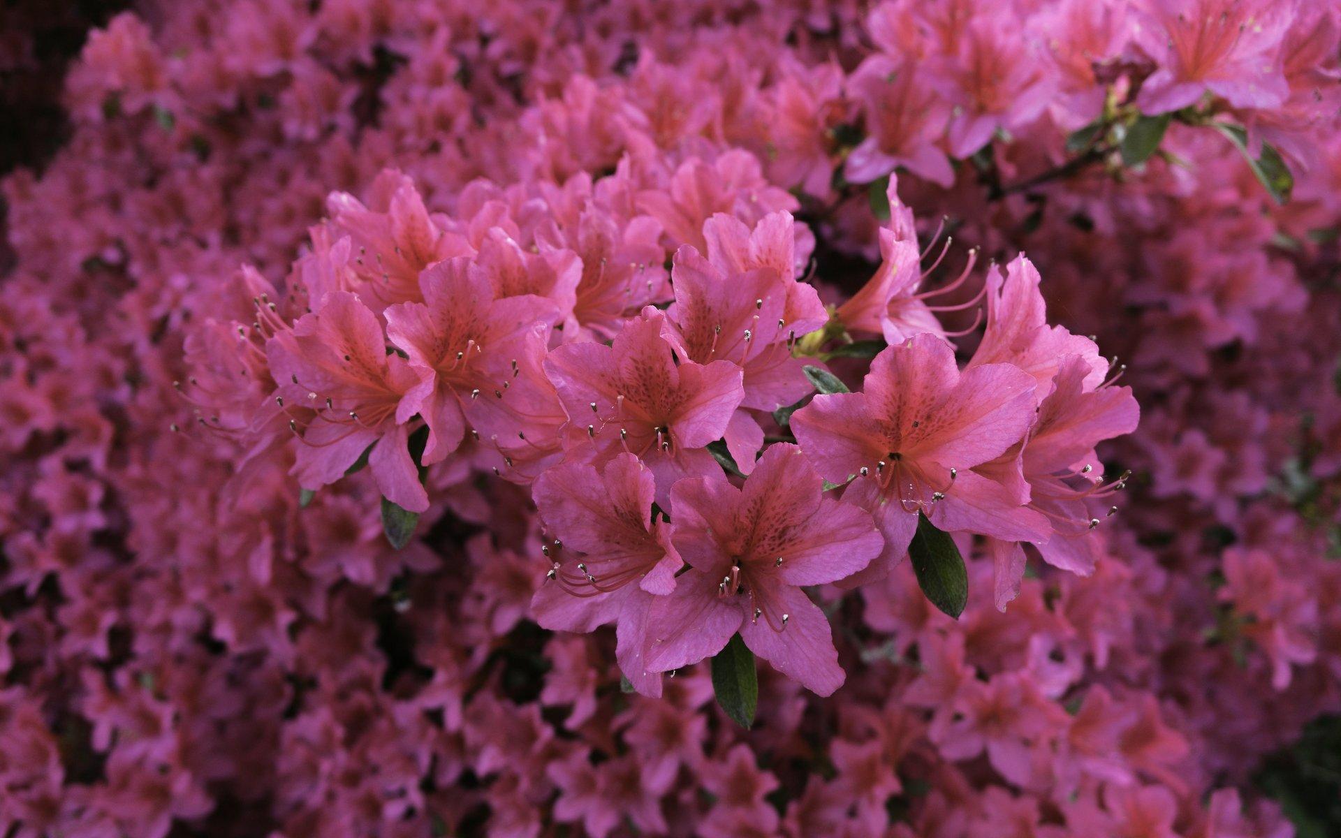 Rhododendron beim Rosengarten im Stadtpark