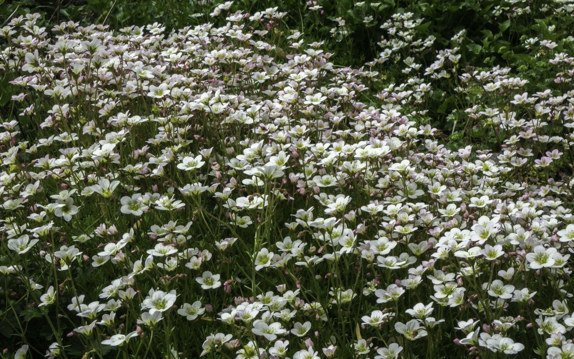 Fetthenne bei den Sommerblumen im Stadtpark