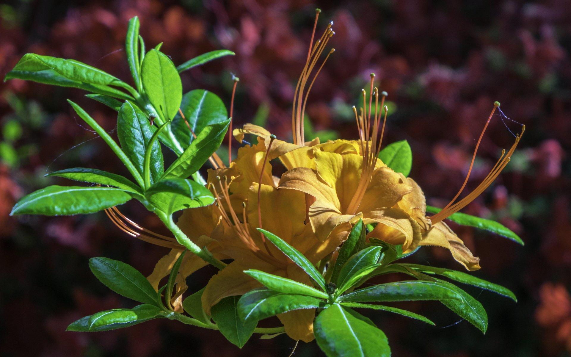 Rhododendron beim Schweizer Pavillon im Stadtpark
