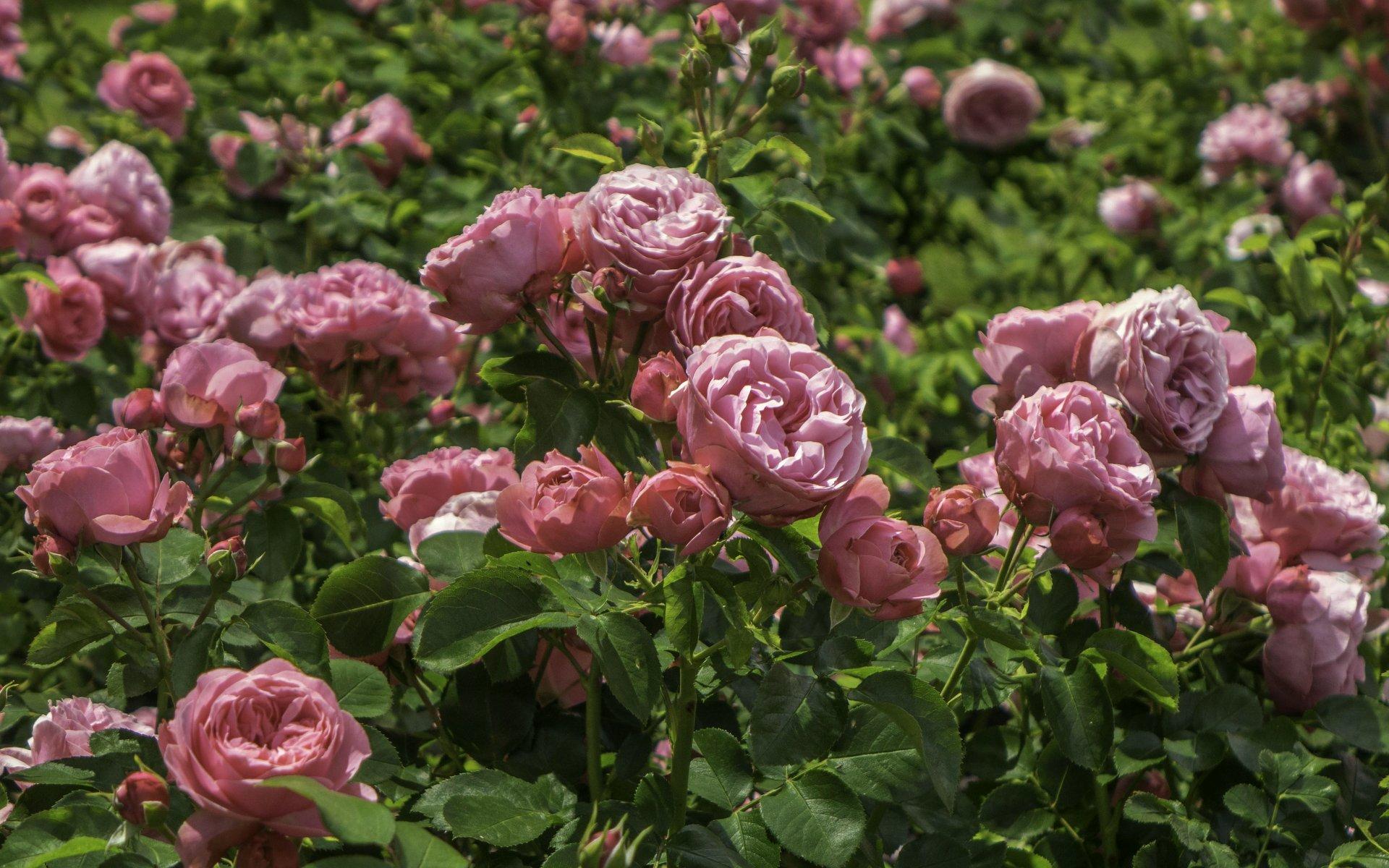 Rosen im Rosengarten im Stadtpark