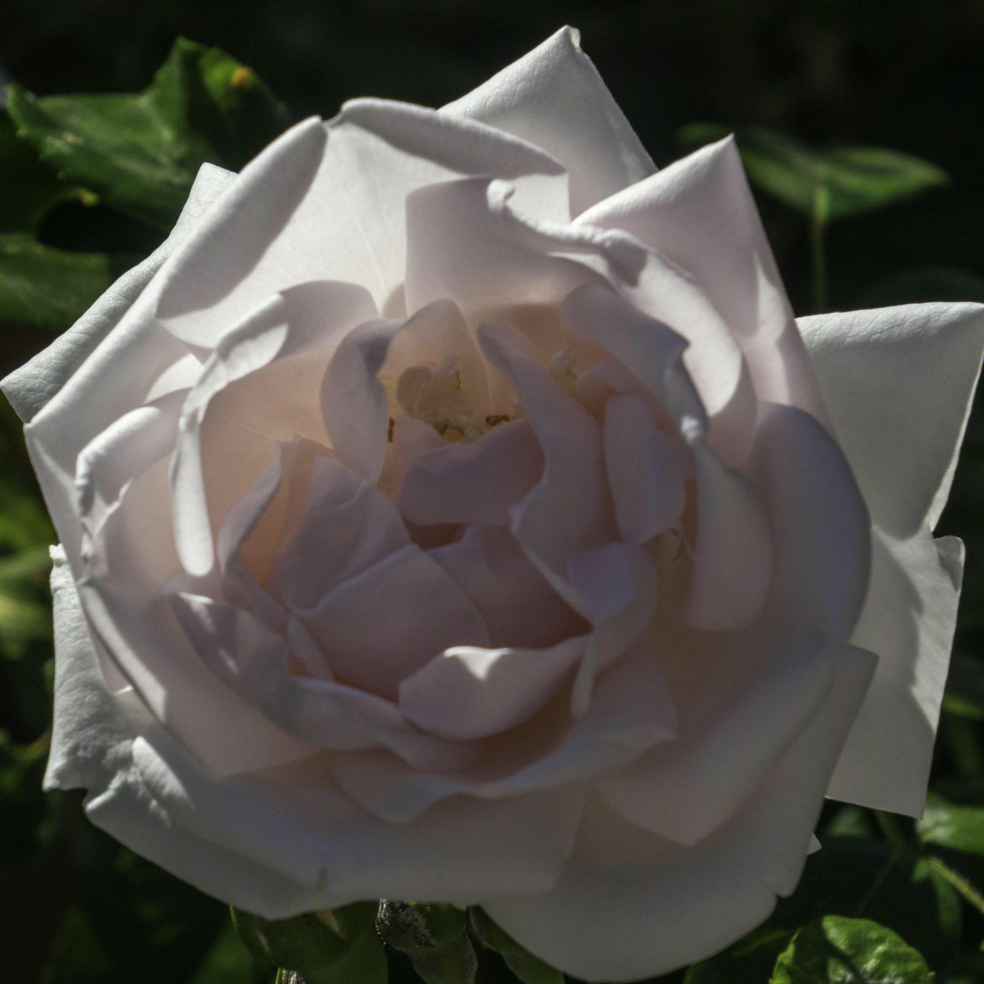 Rose im Apfelstück des Großen Gartens