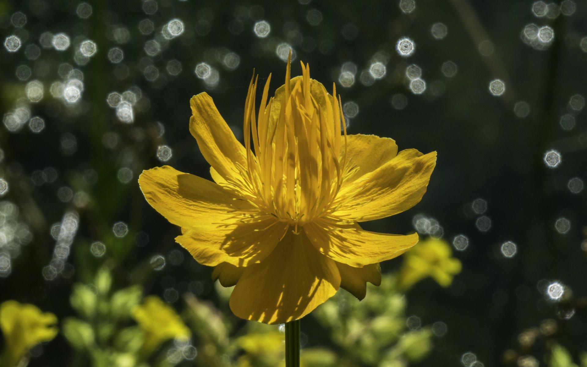 Trollblume im Steingarten im Berggarten
